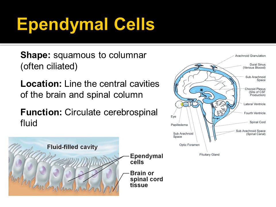 Ependymal Cells Shape: squamous to columnar (often ciliated)