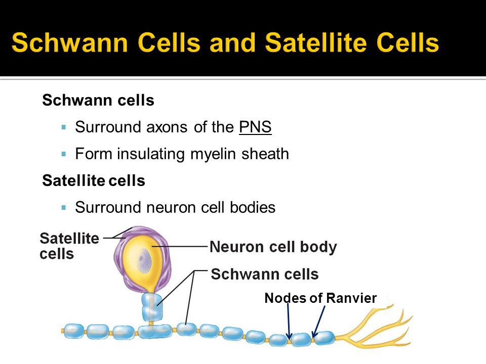 Schwann Cells and Satellite Cells