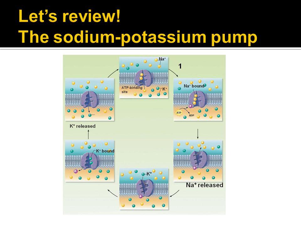 Let's review! The sodium-potassium pump