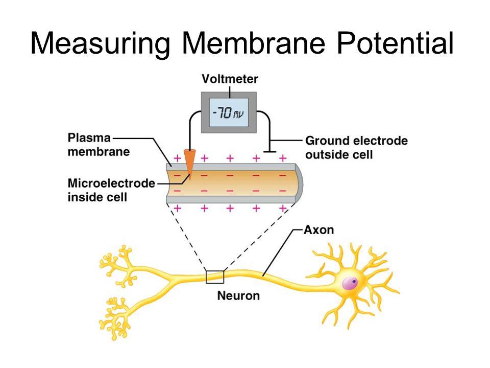 Measuring Membrane Potential