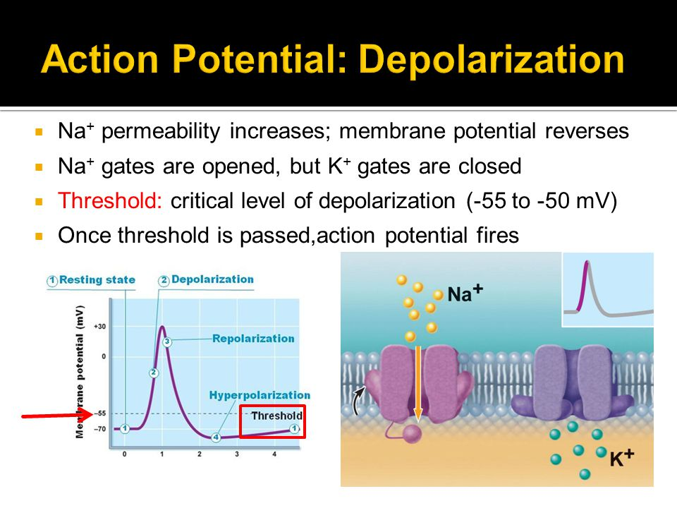 Action Potential: Depolarization