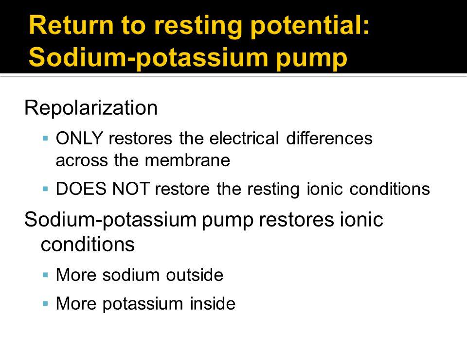 Return to resting potential: Sodium-potassium pump