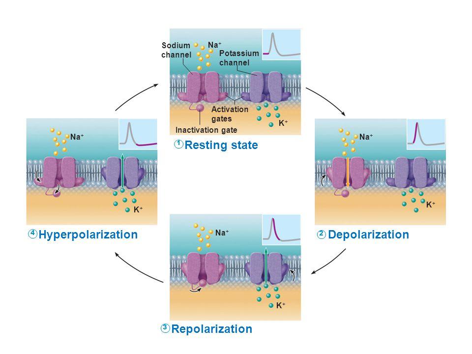 Resting state Hyperpolarization Depolarization Repolarization Sodium