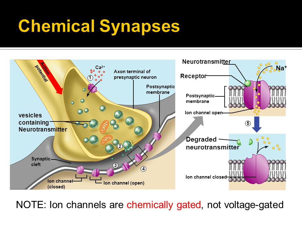 Chemical Synapses vesicles. containing. Neurotransmitter. Synaptic. cleft. Ion channel. (closed)