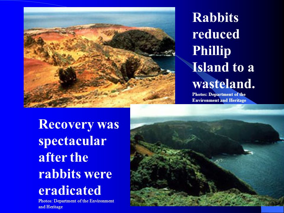 Rabbits reduced Phillip Island to a wasteland