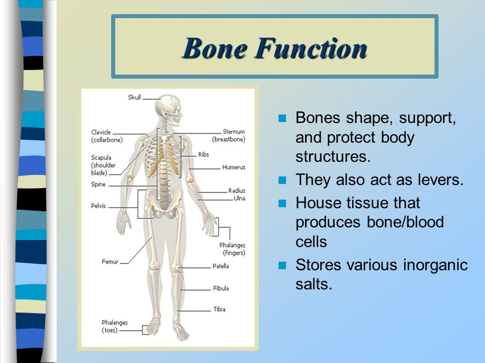 Bone Function Bones shape, support, and protect body structures.