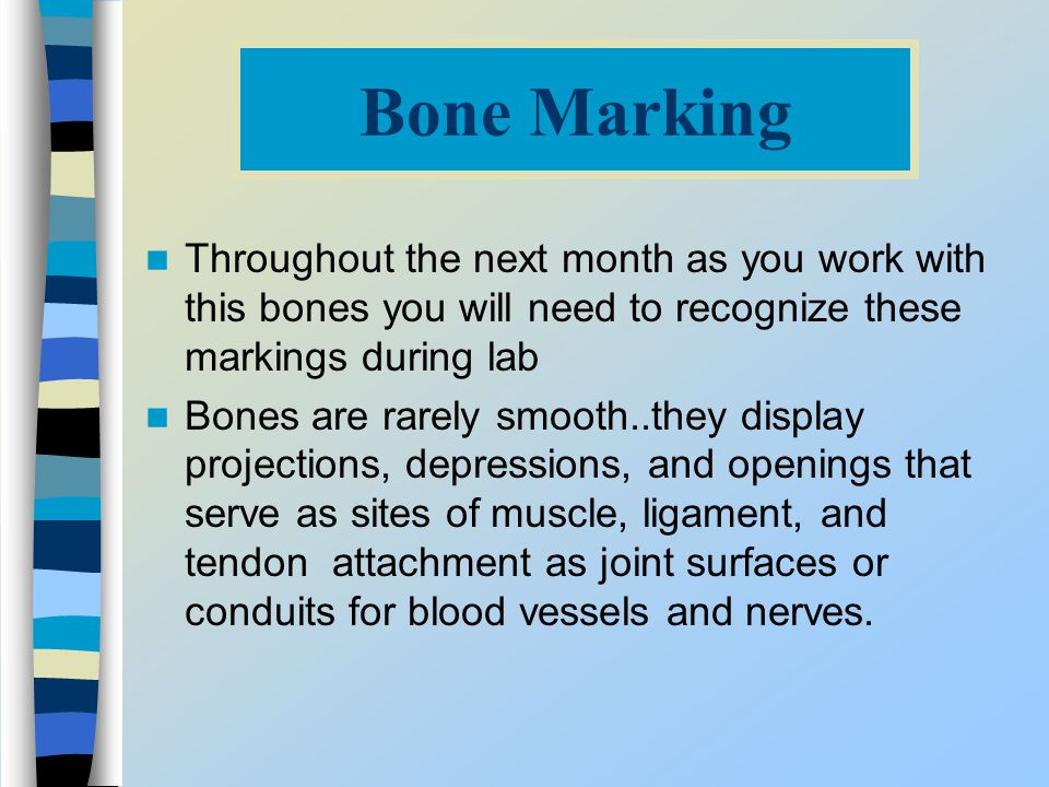 Bone Marking Throughout the next month as you work with this bones you will need to recognize these markings during lab.