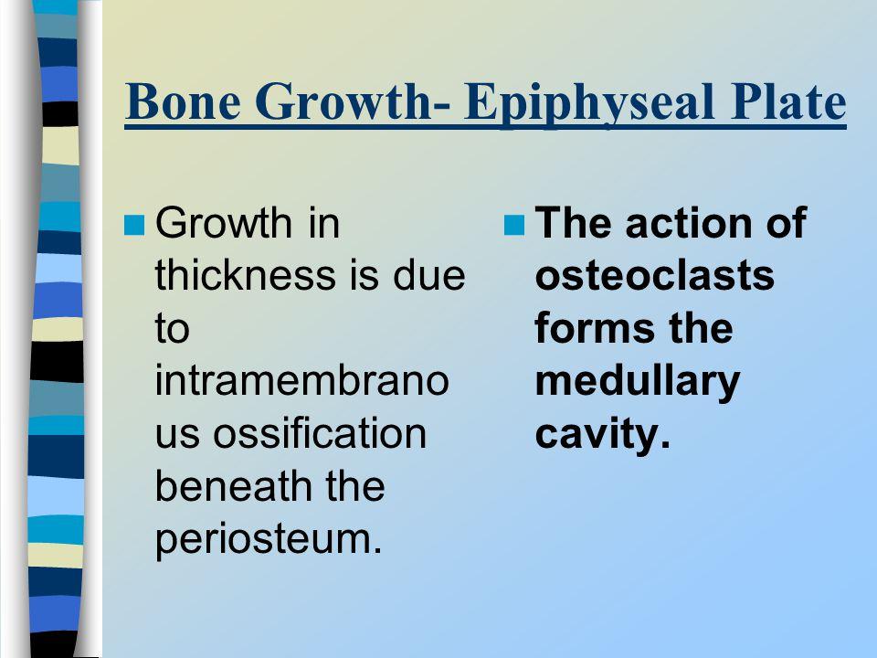 Bone Growth- Epiphyseal Plate