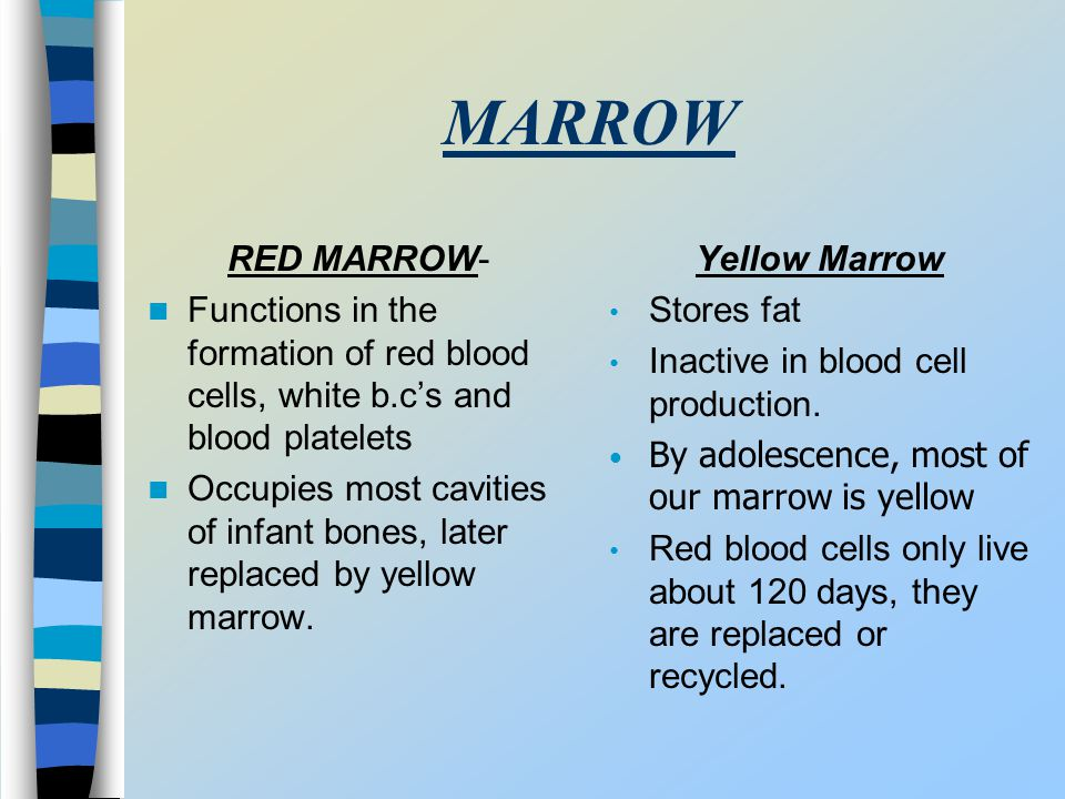 MARROW RED MARROW- Functions in the formation of red blood cells, white b.c's and blood platelets.