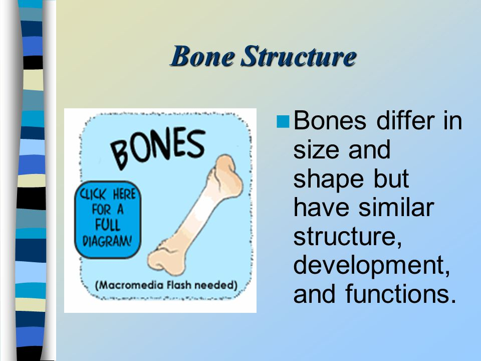 Bone Structure Bones differ in size and shape but have similar structure, development, and functions.