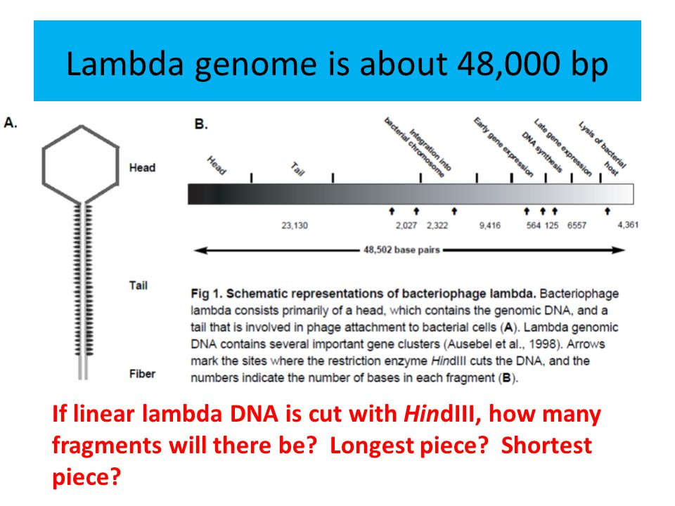 Lambda genome is about 48,000 bp