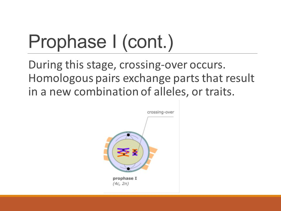 Prophase I (cont.)