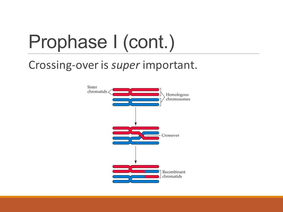 Prophase I (cont.) Crossing-over is super important.