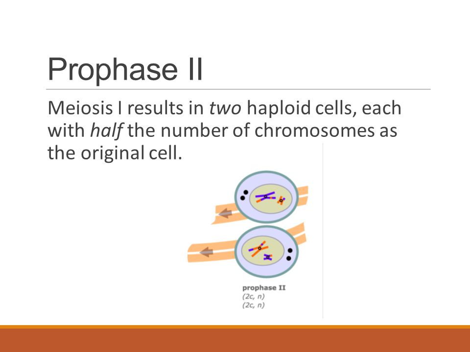 Prophase II Meiosis I results in two haploid cells, each with half the number of chromosomes as the original cell.