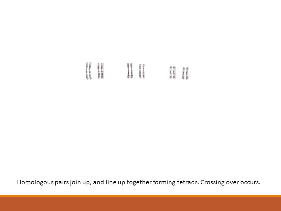 Homologous pairs join up, and line up together forming tetrads