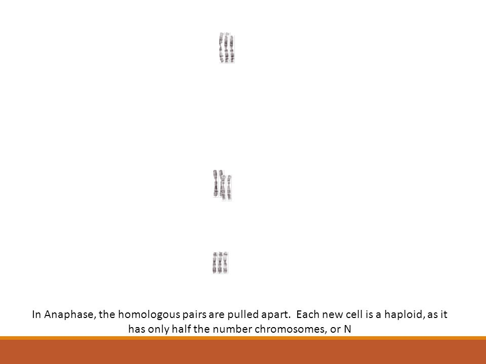 In Anaphase, the homologous pairs are pulled apart
