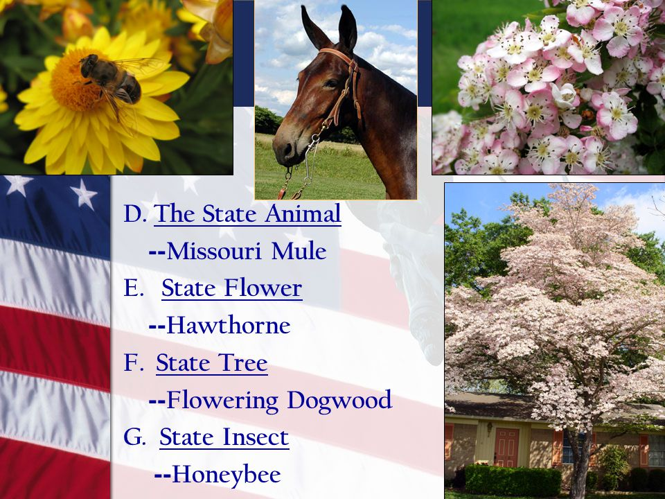 D. The State Animal --Missouri Mule. E. State Flower. --Hawthorne. F. State Tree. --Flowering Dogwood.