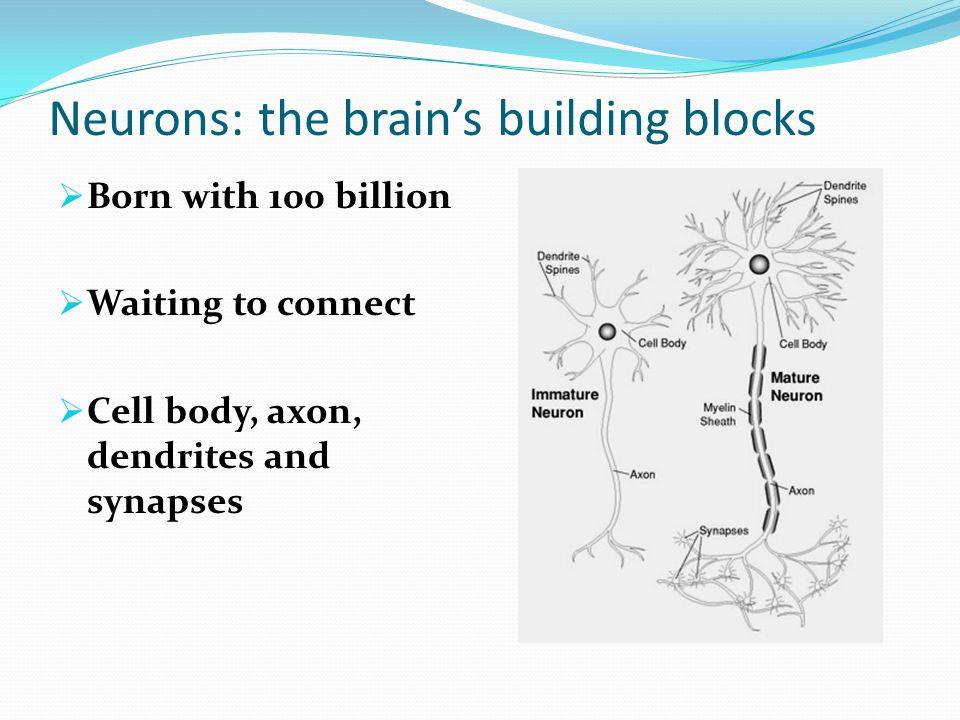 Neurons: the brain's building blocks