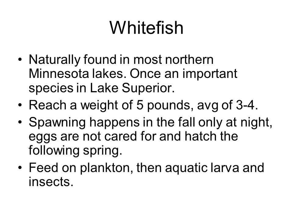 Whitefish Naturally found in most northern Minnesota lakes. Once an important species in Lake Superior.