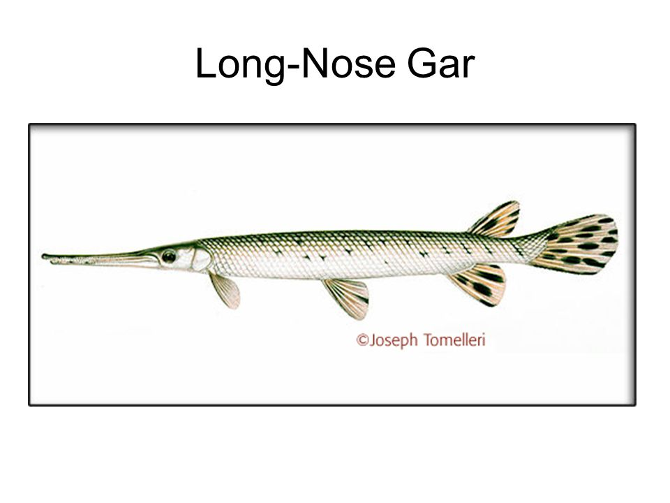 Long-Nose Gar