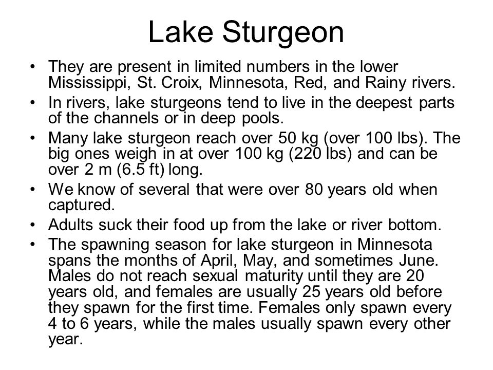 Lake Sturgeon They are present in limited numbers in the lower Mississippi, St. Croix, Minnesota, Red, and Rainy rivers.