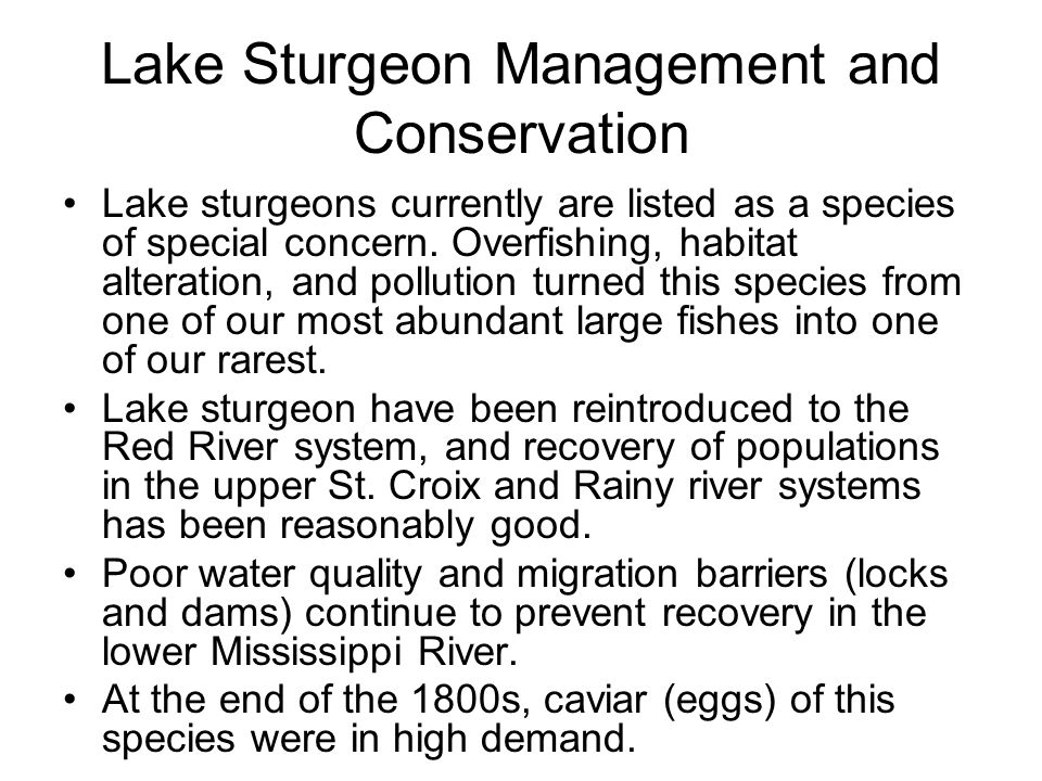 Lake Sturgeon Management and Conservation