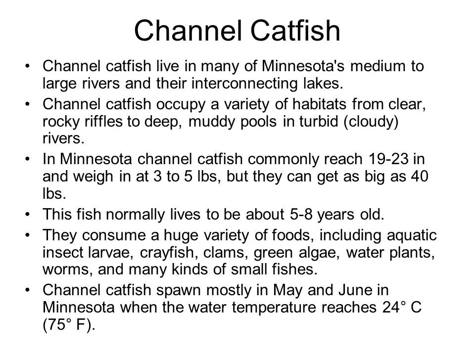 Channel Catfish Channel catfish live in many of Minnesota s medium to large rivers and their interconnecting lakes.