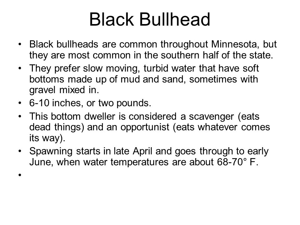 Black Bullhead Black bullheads are common throughout Minnesota, but they are most common in the southern half of the state.