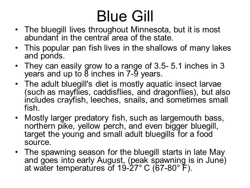 Blue Gill The bluegill lives throughout Minnesota, but it is most abundant in the central area of the state.