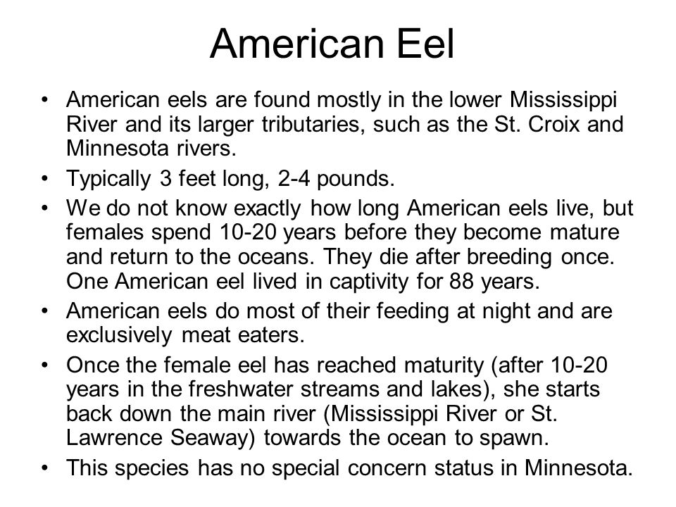 American Eel American eels are found mostly in the lower Mississippi River and its larger tributaries, such as the St. Croix and Minnesota rivers.