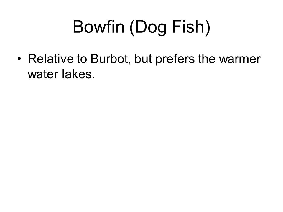 Bowfin (Dog Fish) Relative to Burbot, but prefers the warmer water lakes.