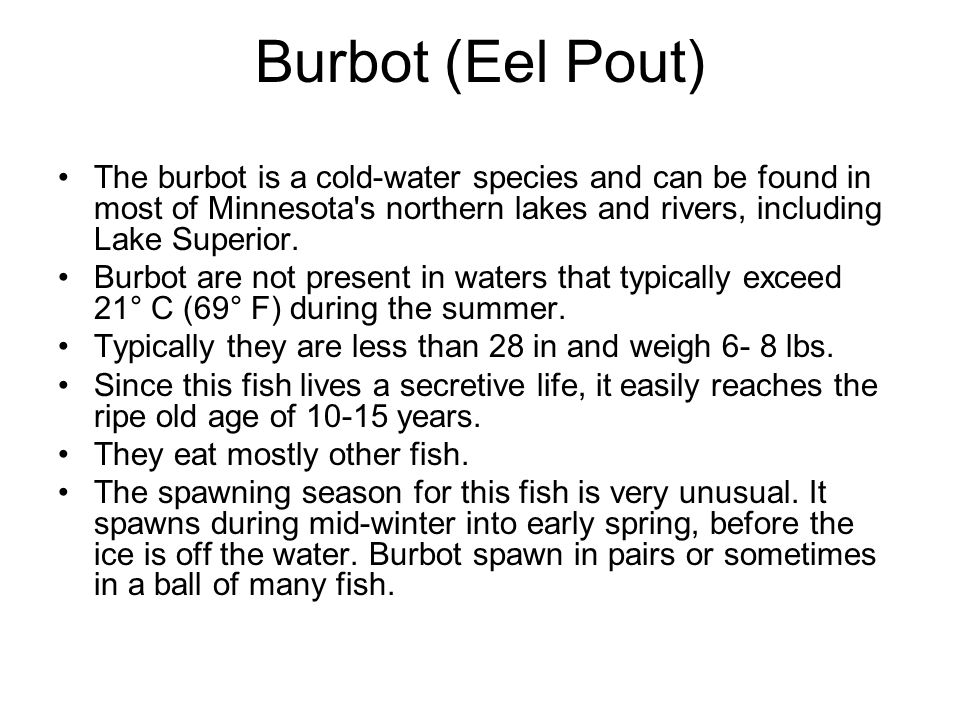 Burbot (Eel Pout) The burbot is a cold-water species and can be found in most of Minnesota s northern lakes and rivers, including Lake Superior.