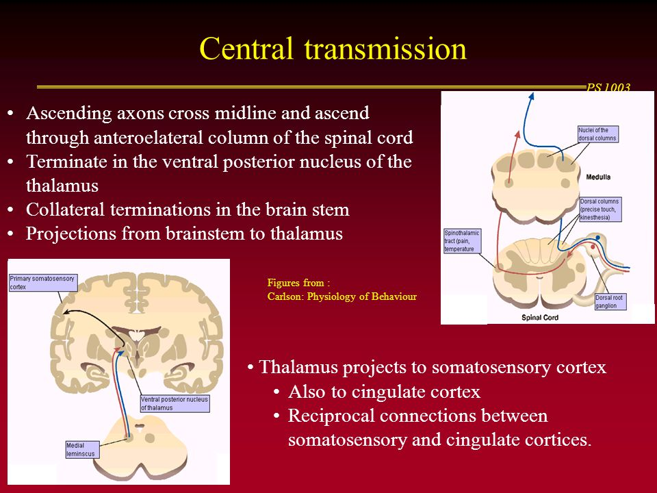 Central transmission Ascending axons cross midline and ascend through anteroelateral column of the spinal cord.