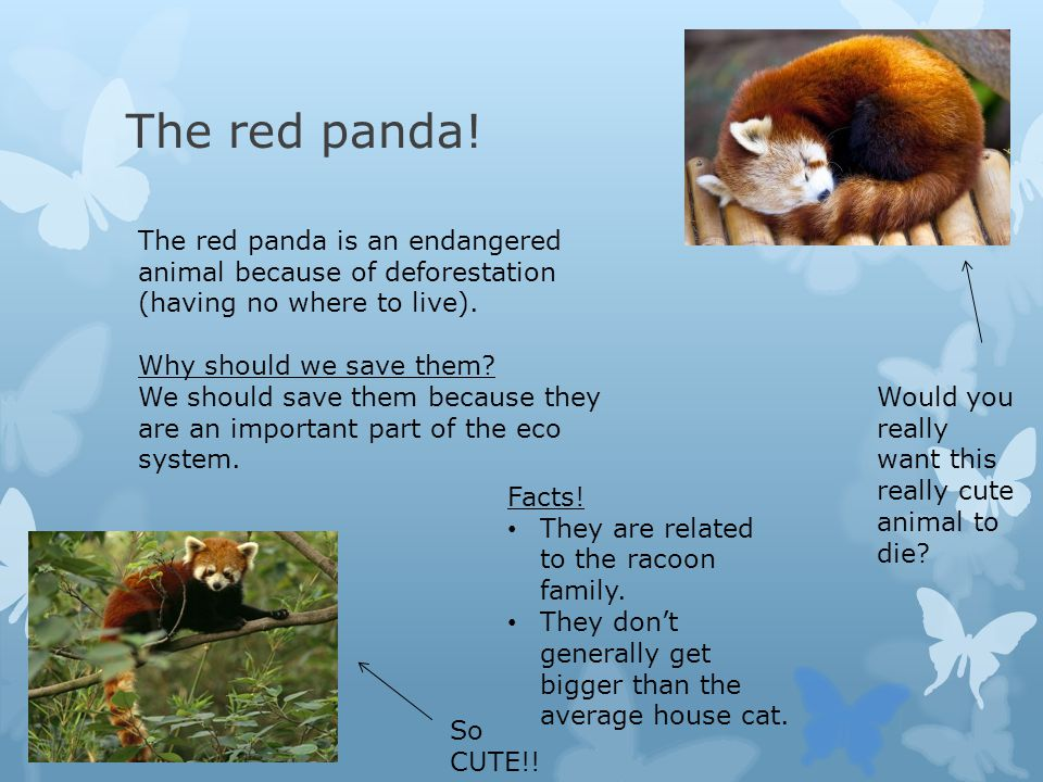 The red panda! The red panda is an endangered animal because of deforestation (having no where to live).