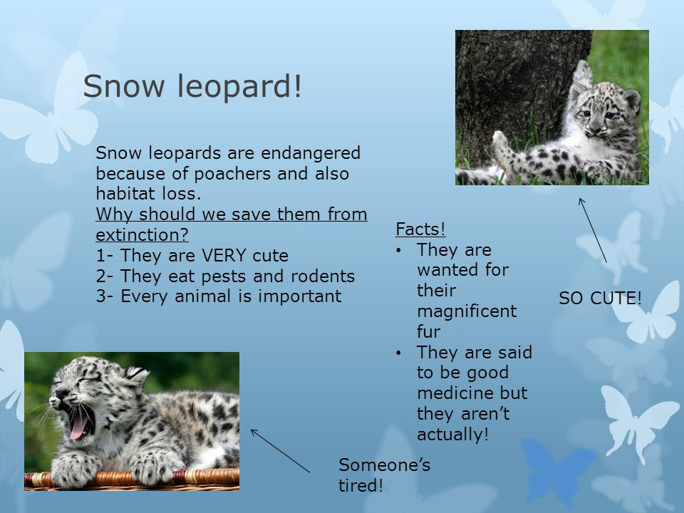 Snow leopard! Snow leopards are endangered because of poachers and also habitat loss. Why should we save them from extinction