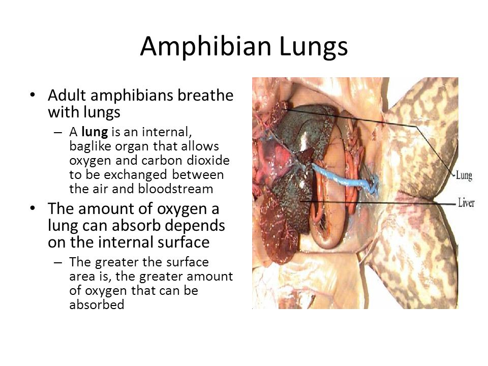 Amphibian Lungs Adult amphibians breathe with lungs