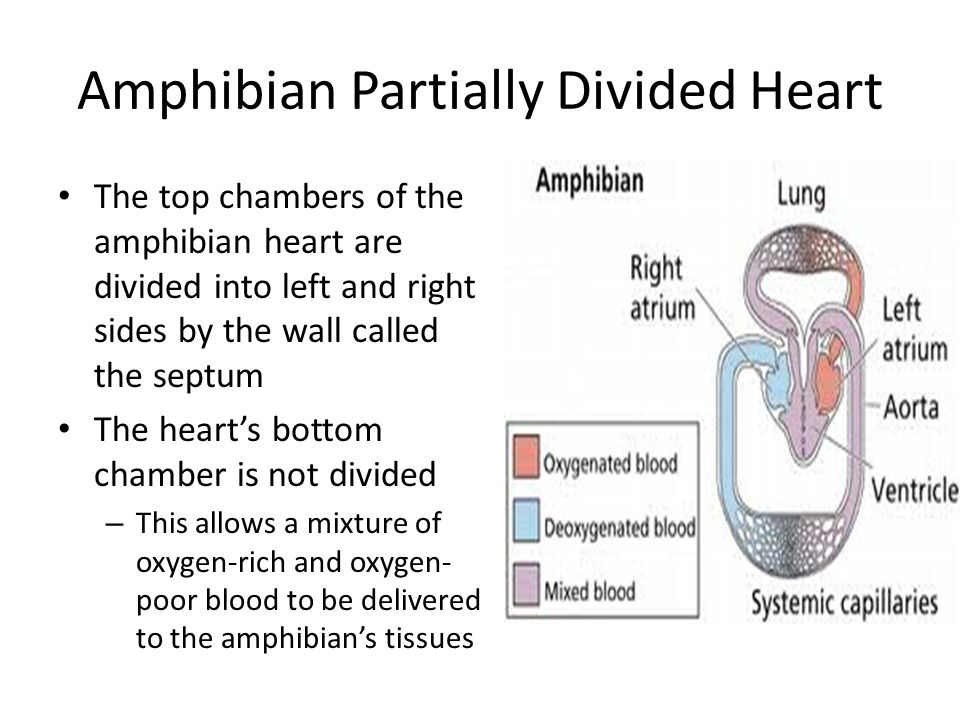 Amphibian Partially Divided Heart