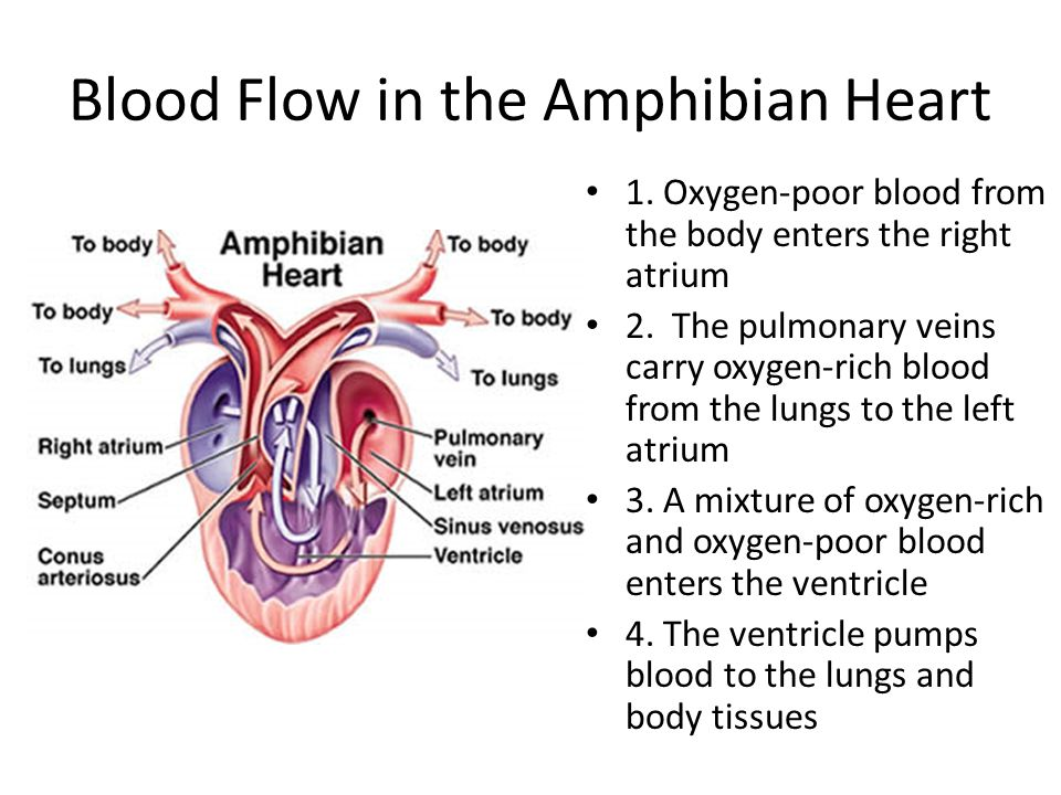 Blood Flow in the Amphibian Heart