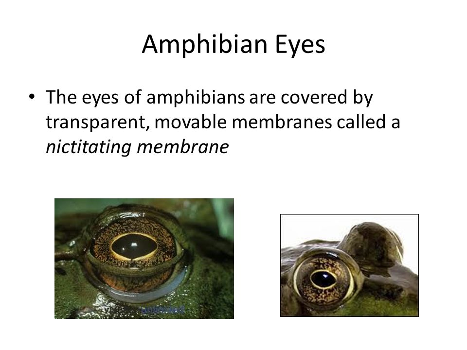 Amphibian Eyes The eyes of amphibians are covered by transparent, movable membranes called a nictitating membrane.