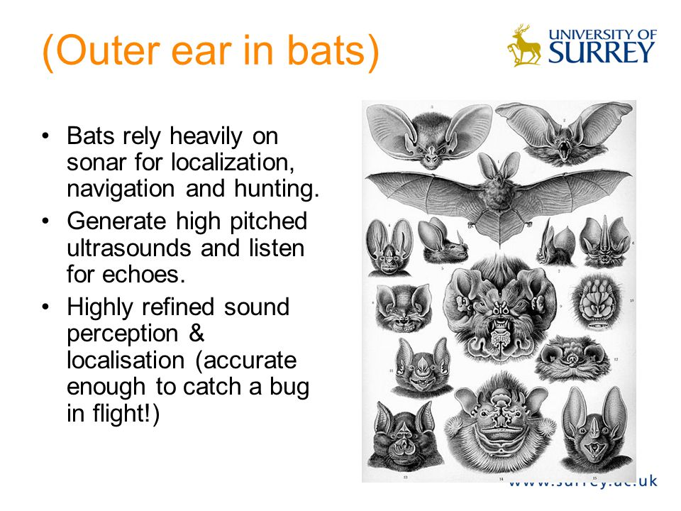 (Outer ear in bats) Bats rely heavily on sonar for localization, navigation and hunting. Generate high pitched ultrasounds and listen for echoes.