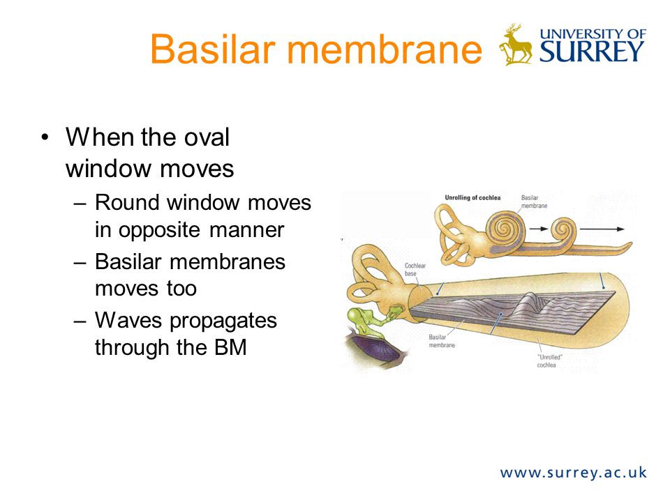 Basilar membrane When the oval window moves