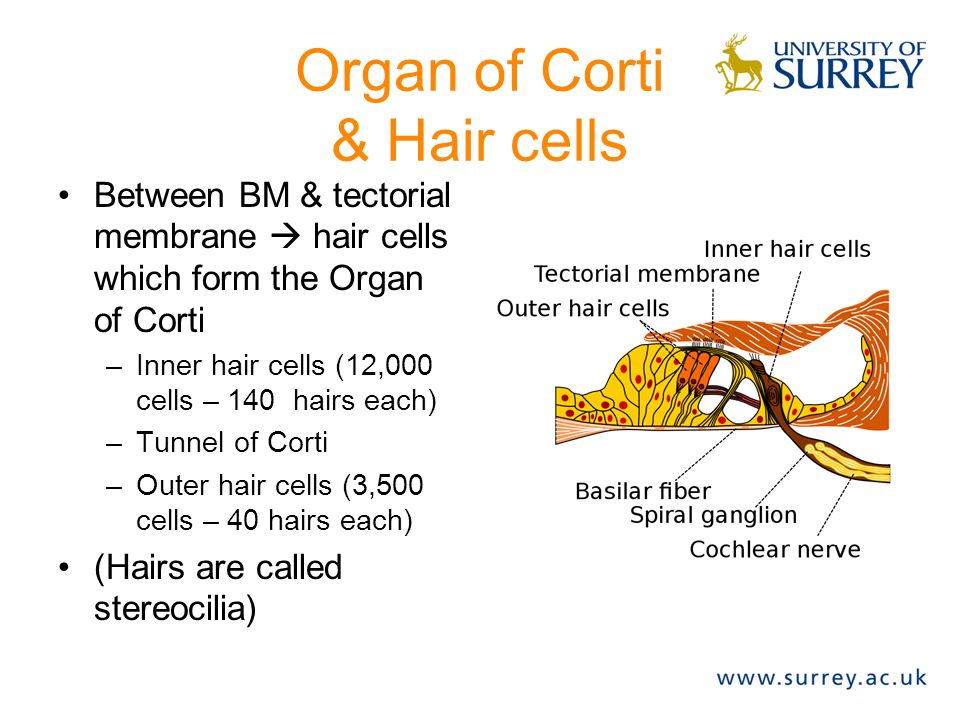 Organ of Corti & Hair cells