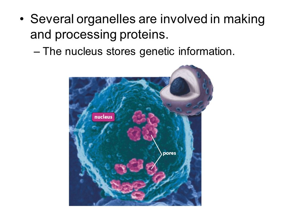 Several organelles are involved in making and processing proteins.