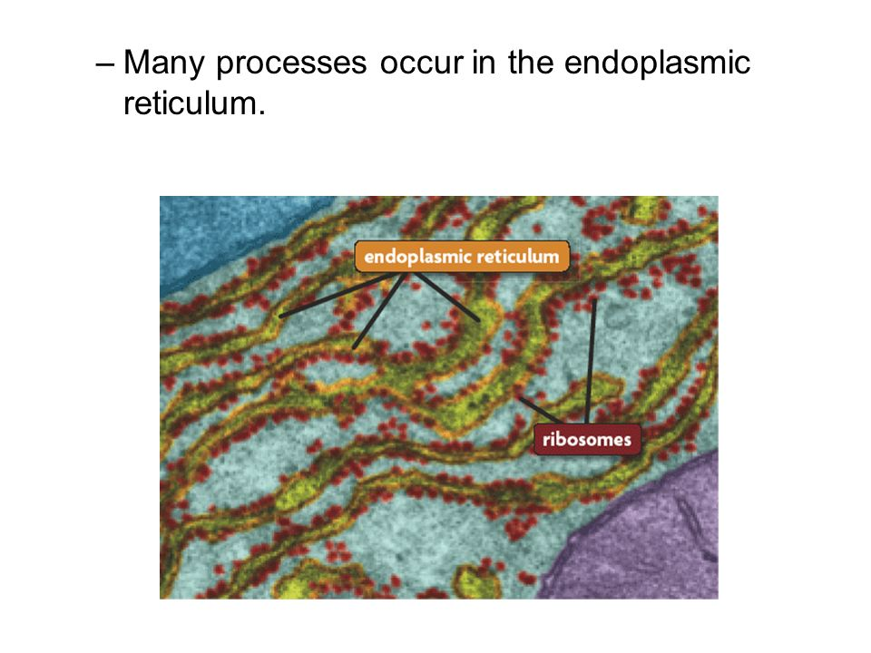 Many processes occur in the endoplasmic reticulum.