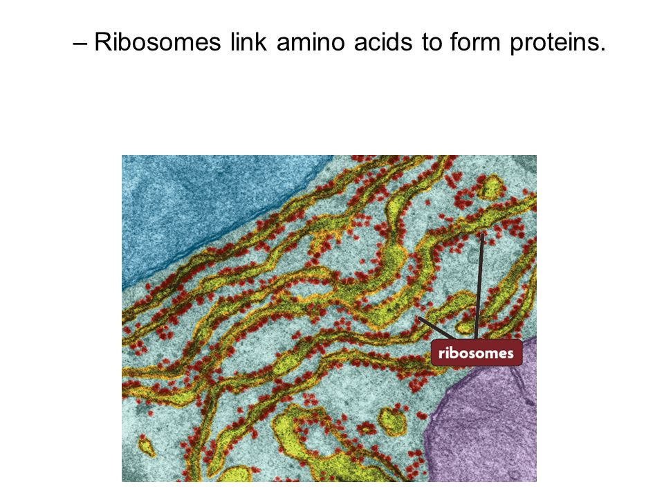 Ribosomes link amino acids to form proteins.