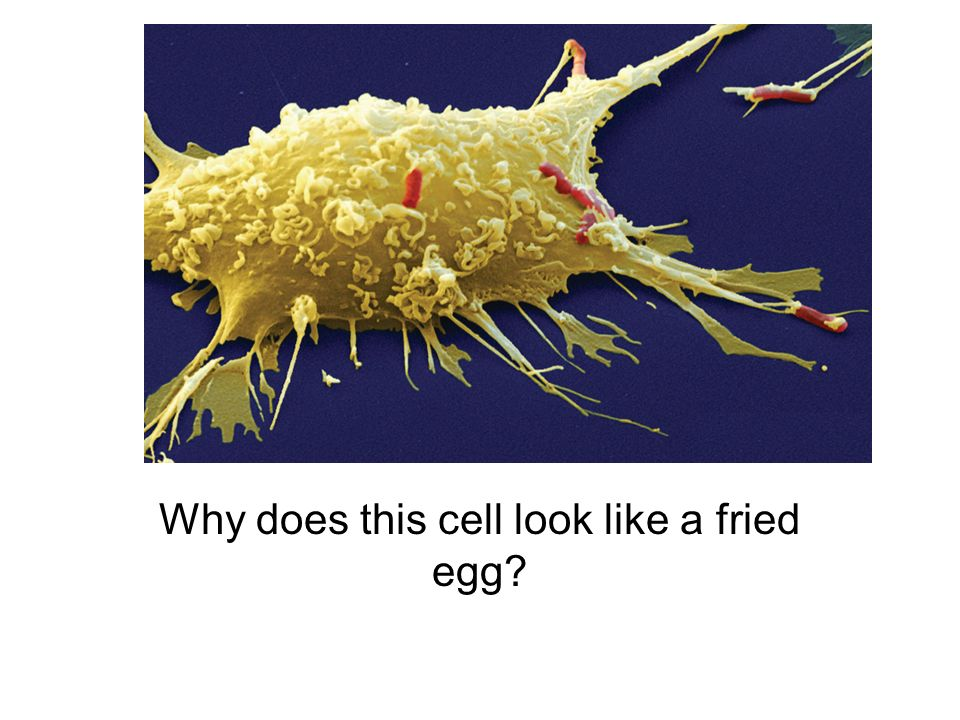 Why does this cell look like a fried egg