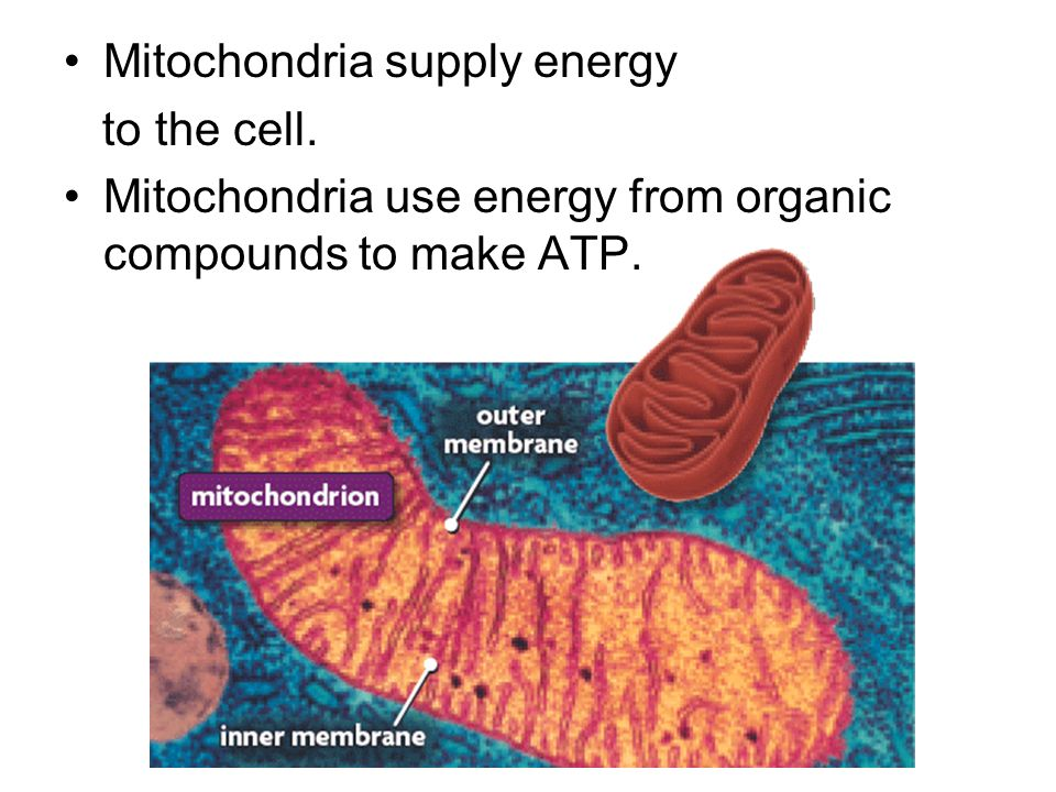 Mitochondria supply energy