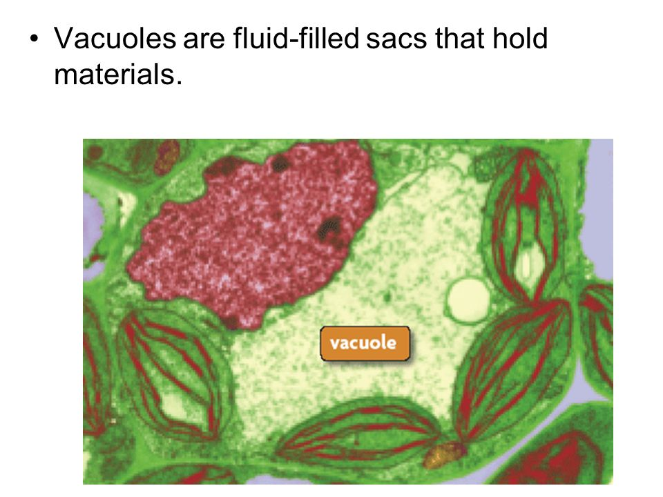 Vacuoles are fluid-filled sacs that hold materials.
