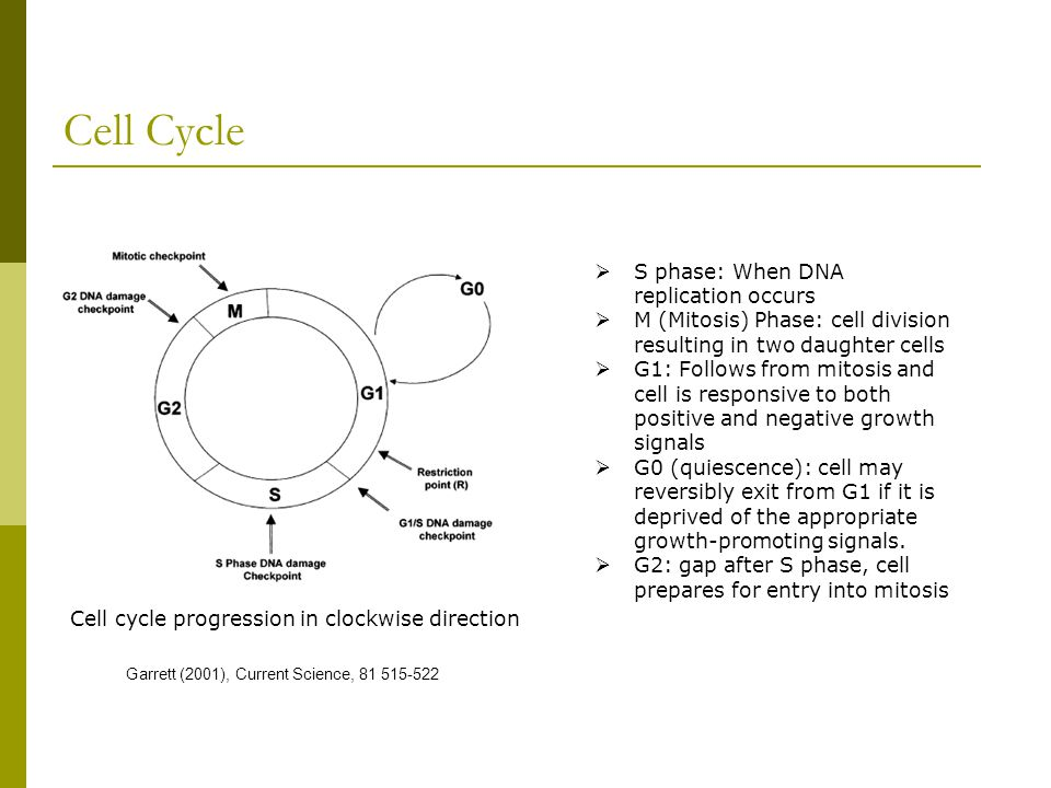Cell Cycle S phase: When DNA replication occurs