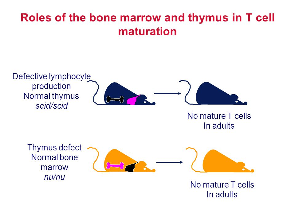 Roles of the bone marrow and thymus in T cell maturation